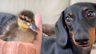 Little duckling and Dachshunds.