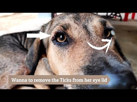 Dog Care/ Wanna to remove the ticks Ixodoidea from my McNab Collie, but she doesn't want.