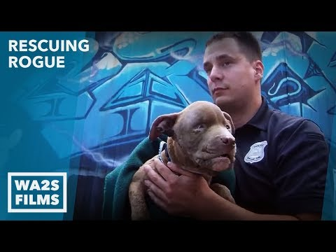 Cruelty Call Leads Detroit Pit Crew Dog Rescue to Injured Puppy Ep 2 Rescuing Rogue No Hope For Paws