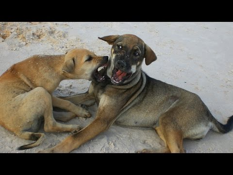 Phu Quoc Dogs