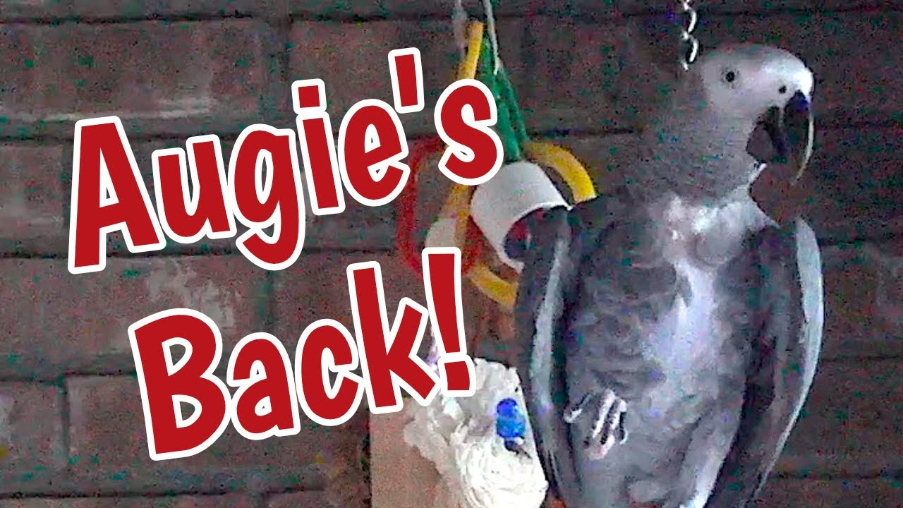 Augie's Back!