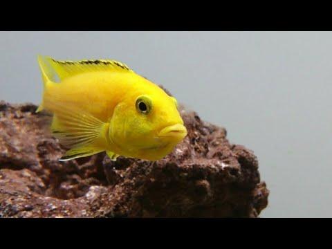 Electric Yellow Lab Cichlid Labidochromis Caeruleus Malawi Care Guide