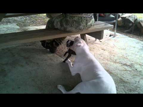 Aggressive Pit Bull Mauls Boston Terrier