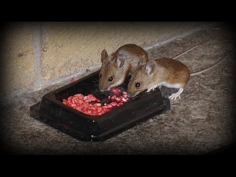 Watch Rodents Eating Poison How To Get Rid Of Mice And
