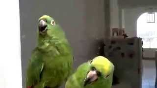 Parrots duo performs Spanish songs!!!