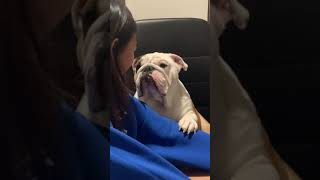 Bulldog Apologizes To Girl For Chewing Her Slipper  1154355