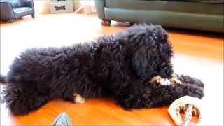 Mason F1b Labradoodle Puppy