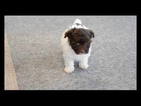 Havanese Puppies For Sale
