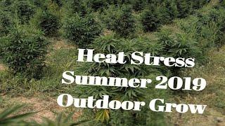 Heat Stress on Cannabis Plants. Organic Cal Mag Nutrients Outdoor Grow 2019