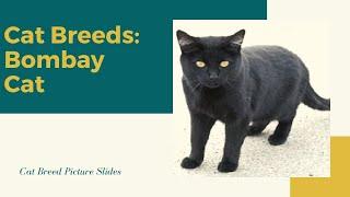 Bombay Slides  Cat Breeds