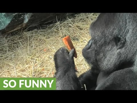 Classy gorilla cleans and peels his carrot before eating