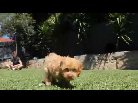 My First Day at Home- Barney The Cavoodle
