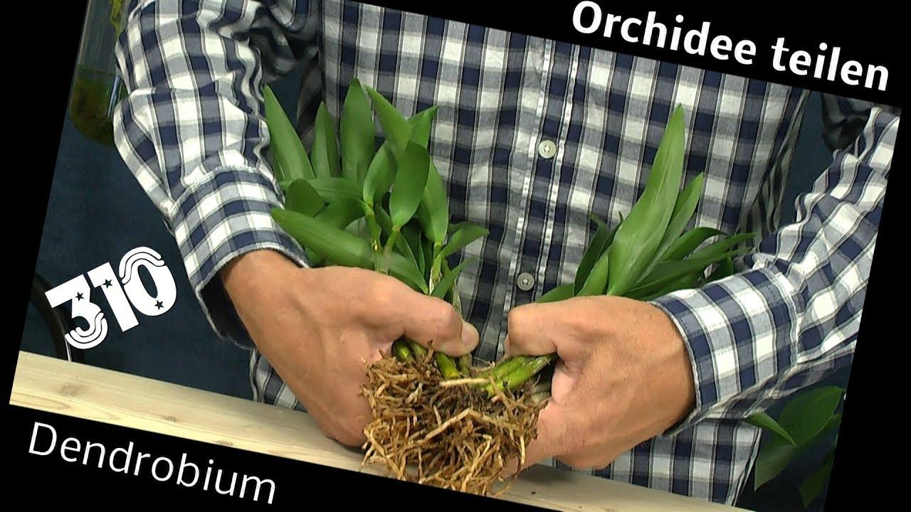Orchidee Teilen Dendrobium Berry Oda Retten Youtube