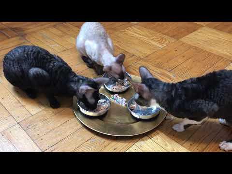 Cornish Rex cats chicken feast...