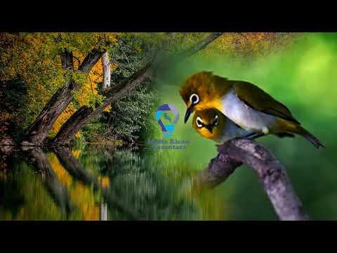 Suara auri betina dengan air mengalir HD terbaru