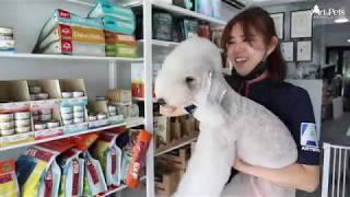 Art of Pets Premium Grooming | Bedlington Terrier | Macy | Groomed by Tan Wen Li