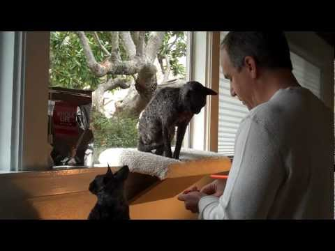 Cornish Rex Kitties Learn Clicker Training