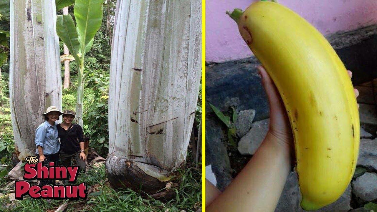 Download Hanya Tumbuh di Pedalaman, Pohon Pisang Ini Berukuran Super Raksasa