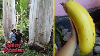 Hanya Tumbuh di Pedalaman, Pohon Pisang Ini Berukuran Super Raksasa