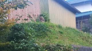 20181017青森県にて。住民の方は、野猿が畑を荒らすなど、被害を受けて...