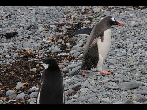 Cute! Baby Penguins Aren't Afraid!