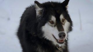 Meet an Alaskan Sled Dog Team