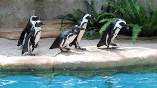 Pinguin di kebun binatang GEMBIRA LOKA Jogja Indonesia