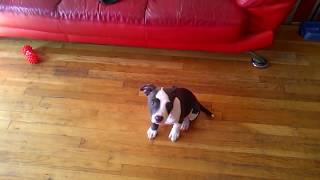Training Puppy To Sit Stay And Lay Down Pt 2 - Pitbull Apbt