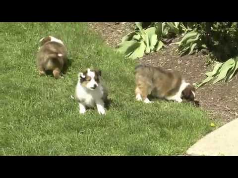 Wayne Weaver's Shetland Sheepdogs