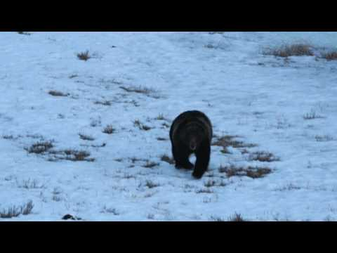 First 2017 Grizzly sighting Yellowstone