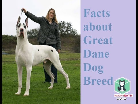 10 Facts about Great Dane dogs