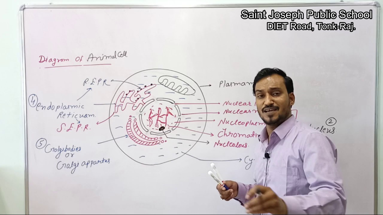 Class 9   Biology   Cell   Diagram of Animal and Plant ...