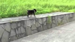 ミニチュアピンシャー一匹散歩 one Animal Walking Miniature Pinscher