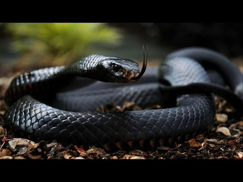 Download Top 10 Most Venomous Snakes in the World