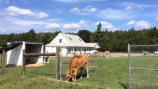 TBC's Mini Jersey cow, China on 9-6-14