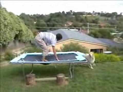 trampoline hump dog original