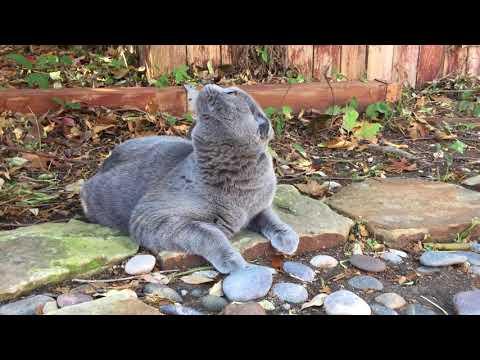 Pom Pom, the Scottish Fold cat