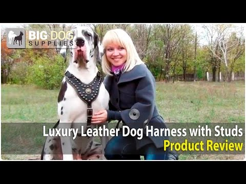 Great Dane and Other Dogs Wearing Royal Design Dog Harness