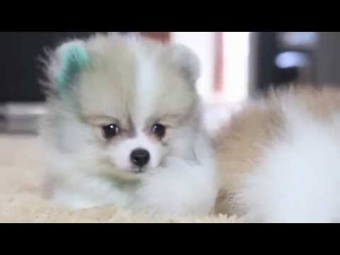 Super Mini Pomeranian Party Color High Quality Youtube