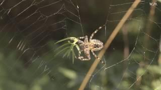 Скоро Лето!!! Spider cross. Паук Крестовик