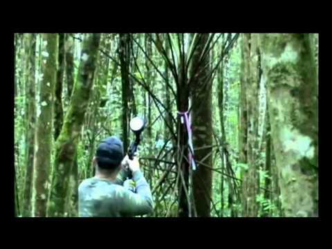 Kauai scientists use painbtall guns to combat invasive plant species