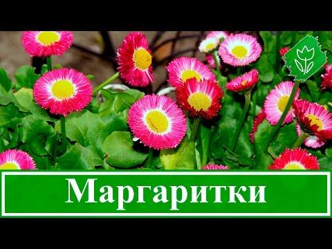 Как выглядят цветы маргаритки