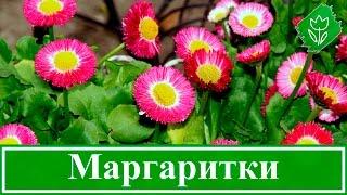Цветы маргаритки – посадка и уход: выращивание маргариток в открытом грунте из семян