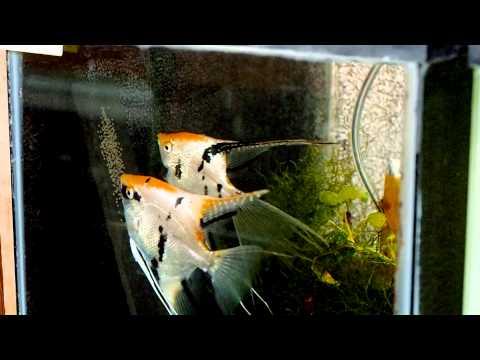 Gold Marble Angelfish Pair #1560