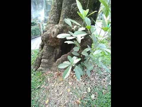 Cây Vấp nhiều hoa, Gắn với địa danh quận Gò vấp trong Sở thú/Thảo Cầm Viên Sài Gòn/ Mesua floribunda