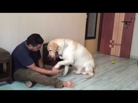 Chaddi Buddy - A Labrador Short Film