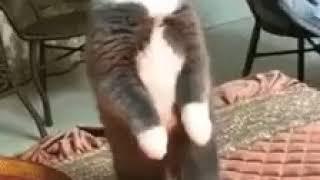 Смешной кот,  коты рулят,  знает Гимн России 😂😂😂 Ржач