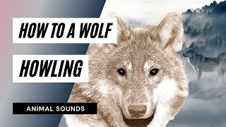 The Animal Sounds: Wolf Howl - Sound Effect - Animation
