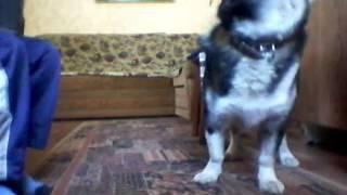 Собака поет под гармошку . НЕВЕРОЯТНО!!!