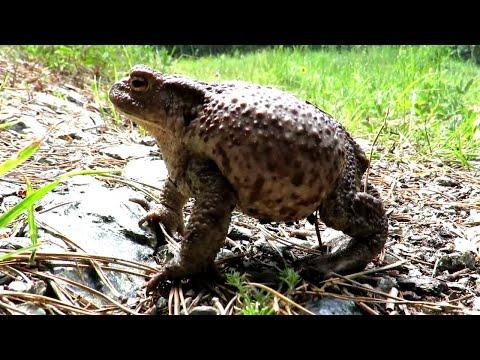 ЖАБА Серая или Обыкновенная жаба, Common Toad